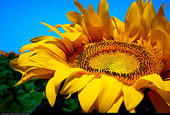 Image of a sunflower to illustrate the importance of a preference for vegetable fats in preventing heart disease